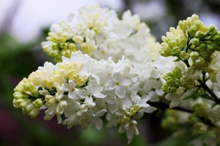 More Lilacs